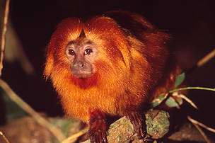 Gylden løvetamatrin/Gylden løveabe. Leontopithecus rosalia Golden lion tamarin in natural habitat Poco das Anatas Reserve, Lowland Atlantic forest, in the Sao Joao River Basin, Brazil June 92