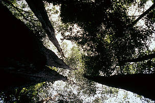 Vagafogo Sanctuary Gallery forest, view of the canopy from the ground, Pirenopolis, Cerrado, Brazil