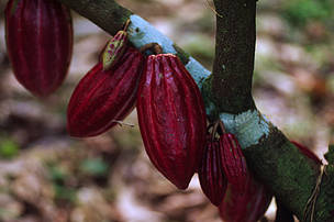 Una Federal Biological Reserve Cocoa fruits in the Atlantic forest Bahía Brazil
