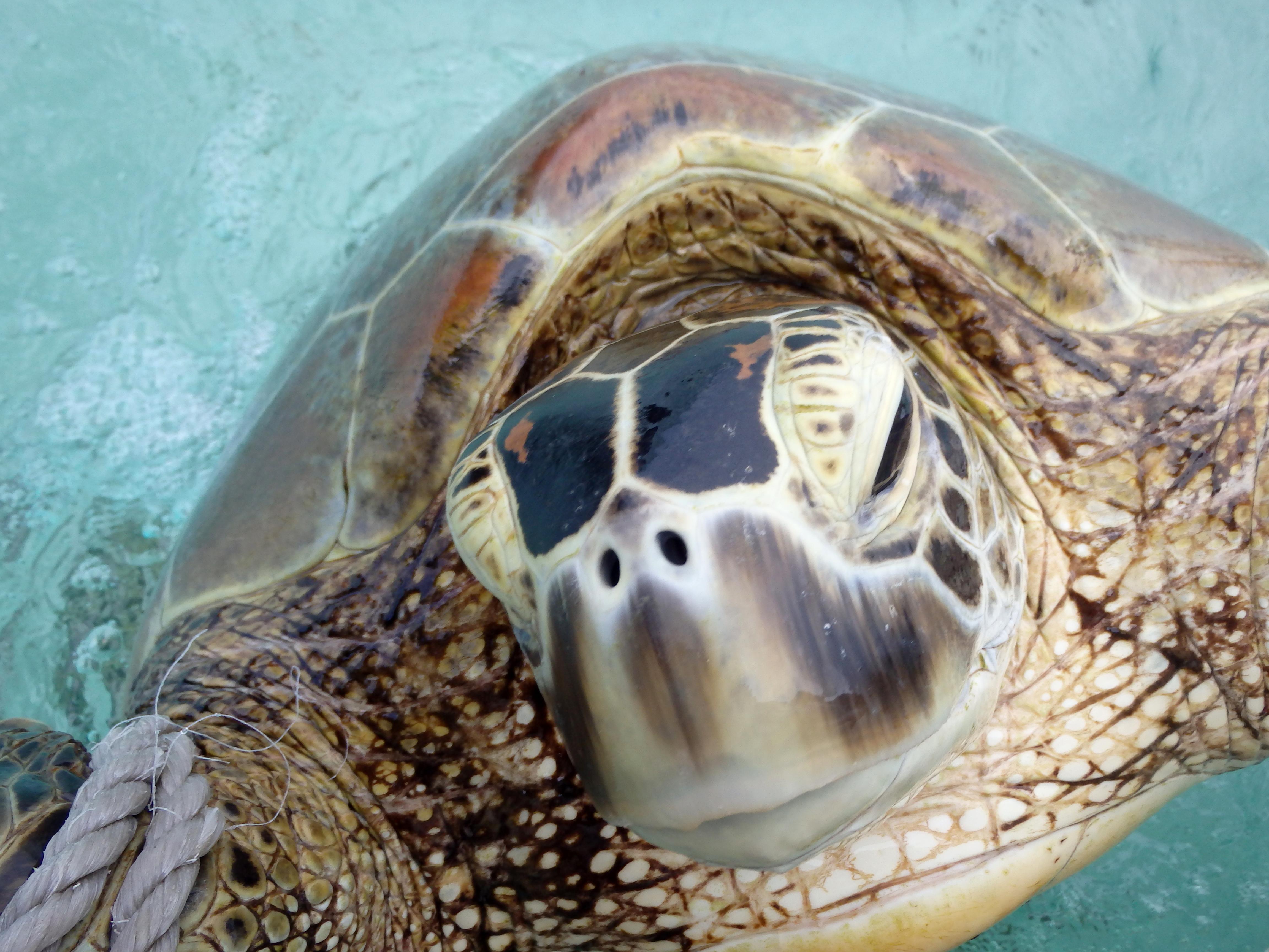 havskildpadder fakta