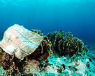 Plastic bag on coral head. Indo-Pacific Ocean.